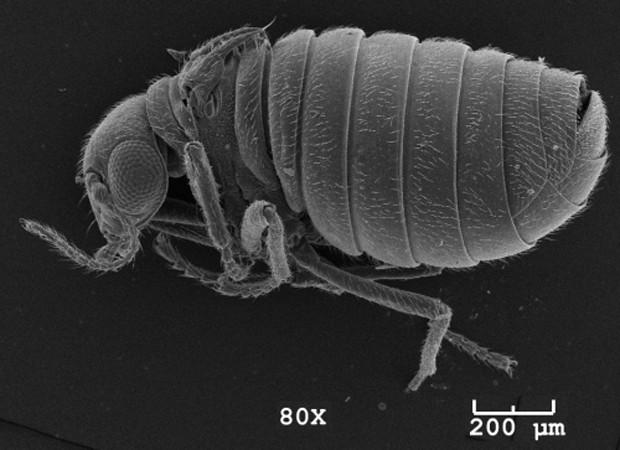 """Inseto da espécie recém-descrita Caurinus tlagu (Foto: Divulgação/""""ZooKeys"""")"""