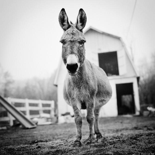 Dee Dee, burro, residente do santuário Star Gazing Farm, localizado em Maryland, EUA (Foto: Sharon Lee Hart)