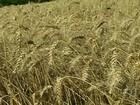 Queda na produtividade provoca a redução da safra de trigo no RS