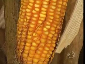 Com maior oferta, cotações da saca do milho começam a cair em Mato Grosso do Sul (Foto: Reprodução/TV Morena)