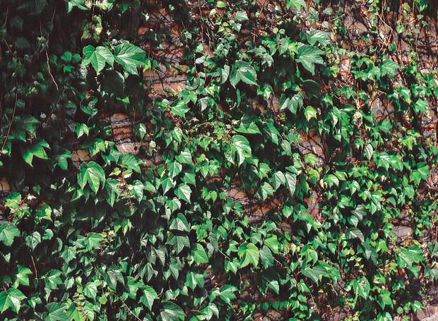 Uma alternativa à unhade- gato é a trepadeira falsavinha (Parthenocissus tricuspidata), de crescimento rápido e com raízes inofensivas. (Foto: Ricardo Novelli)