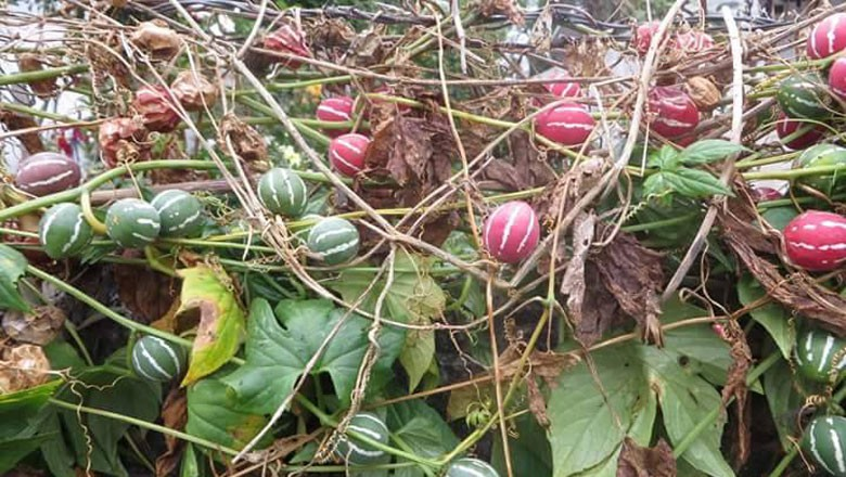 melancia-de-cipó-maracujarana-maracujá-melancia (Foto: Simone-RJK/Acervo pesssoal)