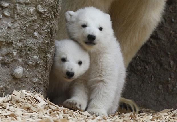 Os filhotes de urso polar, com pouco mais de três meses, apareceram pela primeira vez ao público do zoo de Munique nesta quarta-feira (19) (Foto: Michael Dalder/Reuters)