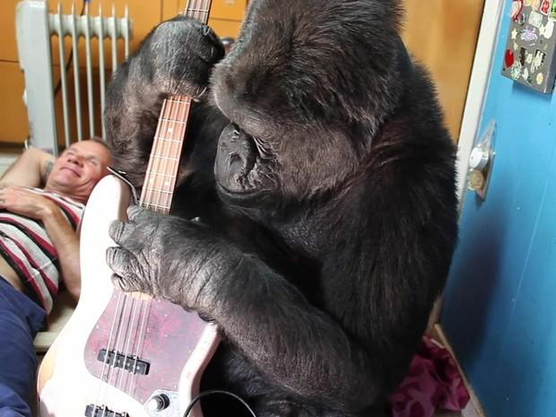 O encontro do baixista do Red Hot Chili Peppers com a gorila Koko (Foto: Reprodução/BBC)