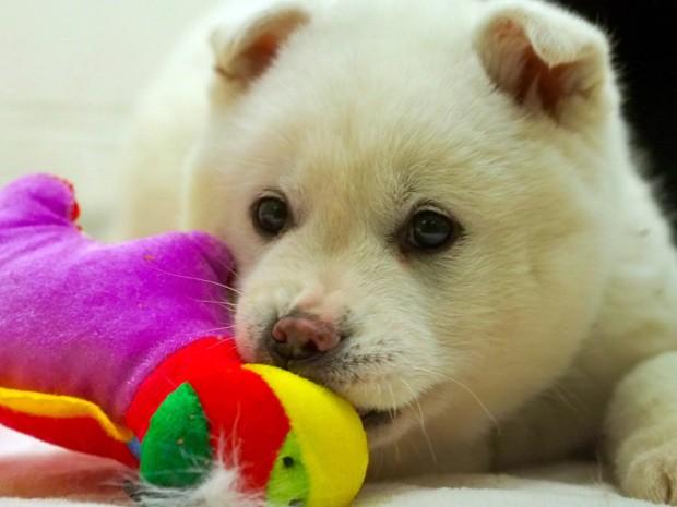 Cachorro chamado Snowball (bola de neve, em inglês), que era criado para consumo humano, foi resgatado na Coreia do Sul e será adotado nos EUA (Foto: AFP Photo/Robert MacPherson)