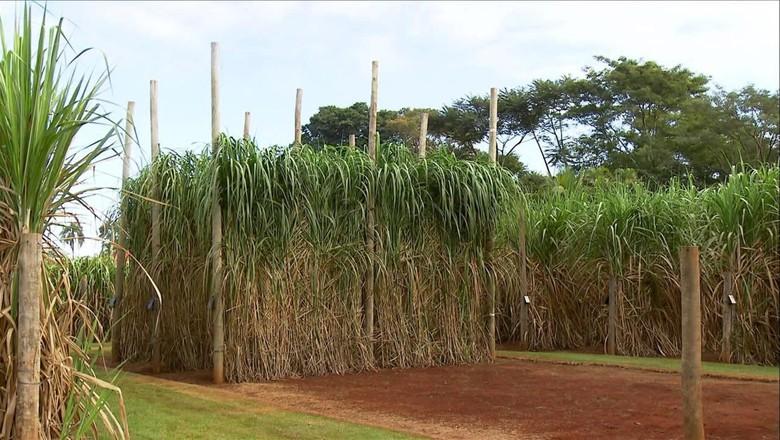 cana-energia (Foto: Reprodução/TV Globo)