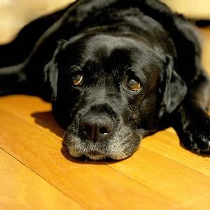 Vai caber? Cães de grande porte em apartamento também podem ter uma vida saudável (Foto: Shutterstock)