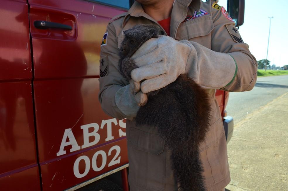 Ele vai passar por avaliação veterinária e será reinserido na natureza (Foto: Eliete Marques/G1)