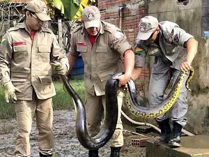 Após vazante, cobra é encontrada em galinheiro de casa da capital (Foto: Corpo de Bombeiros)