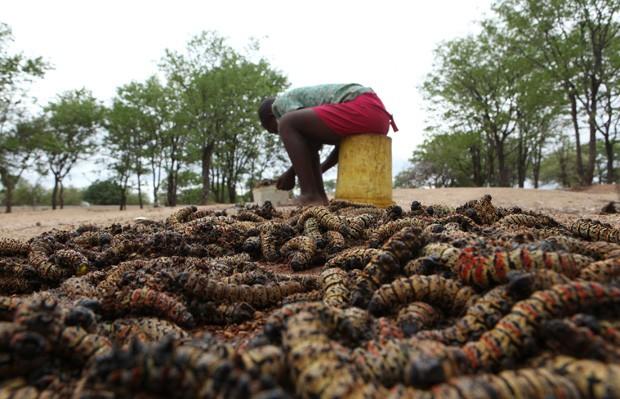 Sihle Nkomo aparece 'colhendo' os animais, parte importante da dieta do país (Foto: Tsvangirayi Mukwazhi/AP)