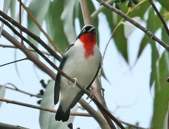 Excepcional Como proteger um dos pássaros mais raros do Brasil? - ÉPOCA | Blog  IB51