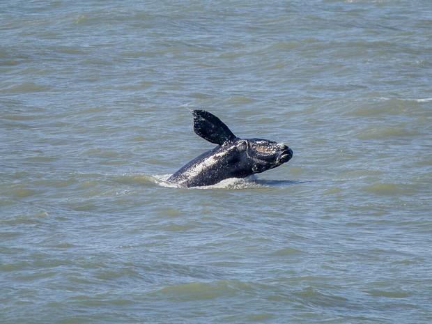 Baleia-franca foi avistada neste sábado (29) em Cidreira (Foto: Rafael Tavares/Instituto Oceano Vivo)