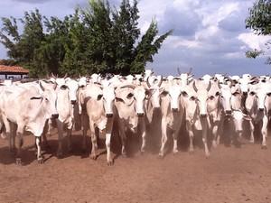 Gado será enviado para abate imediato em Tocantins (Foto: Divulgação/Secom)