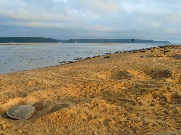 Contaminação com mercúrio faz fêmeas de tartaruga desovarem mais próximas da água. (Foto: Divulgação / Agência Pará)