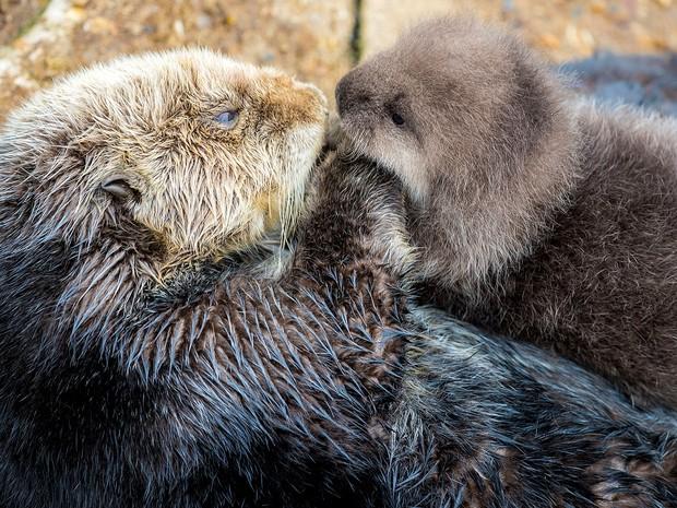 Foto divulgada pelo Monterey Bay Aquarium mostra o novo filhote de lontra sendo carregado por sua mãe, no domingo (20) (Foto: Tyson V. Rininger/Monterey Bay Aquarium via AP)