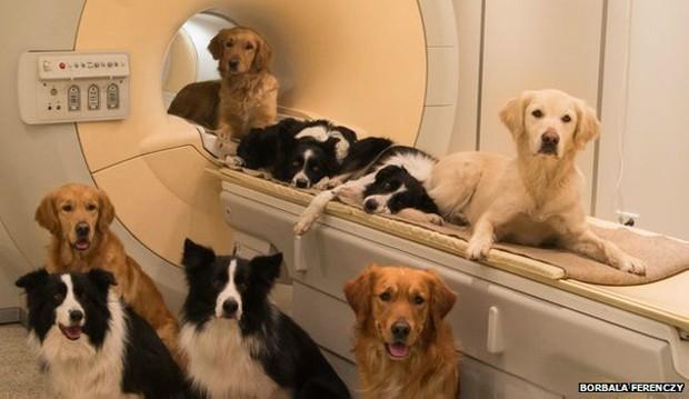Estudo mostrou que a mesma região do cérebro de cães e humanos é ativada pelo som de vozes (Foto: Borbala Ferenczy/BBC)