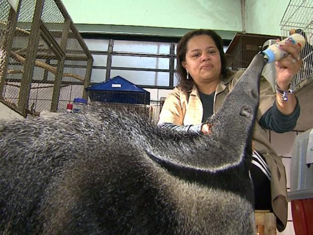 Filhote de tamanduá-bandeira ficou órfão e precisa de mamadeira para se alimentar (Foto: Chico Escolano/ EPTV)