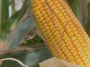 Cresce a produção de milho em goiás  (Foto: Reprodução TV Anhanguera)