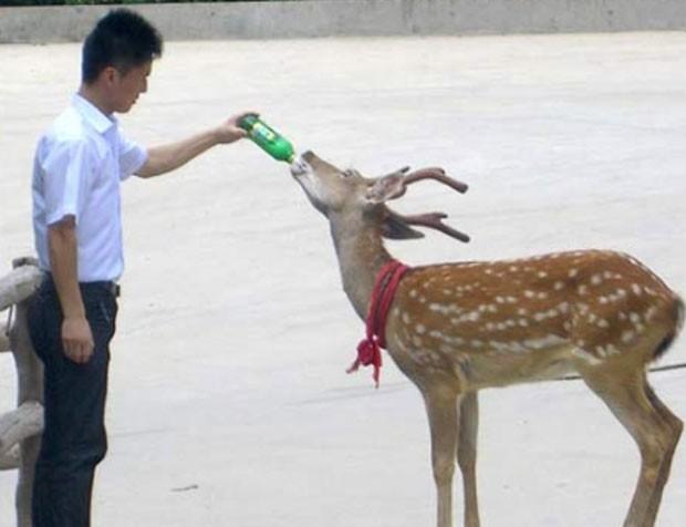 Um resort em Weihai, na província chinesa de Shandong, costuma servir sobras de cerveja para um veado. Funcionários descobriram que o animal gostava da bebida após uma brincadeira em novembro de 2009.  (Foto: Reprodução)