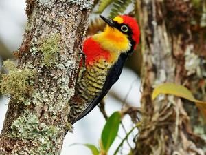 benedito-de-testa-amarela (Melanerpes flavifrons)  (Foto: Rudimar Narciso Cipriani)