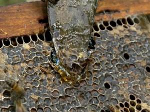 Produção de mel chega a 500 kilos por ano (Foto: Reprodução/TV Gazeta)