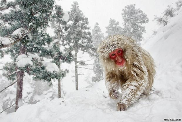 Jasper Doest conquistou o primeiro lugar na categoria Vida Selvagem Terrestre com essa imagem de um macaco no Parque Jigokudani em Nagano, no Japão (Foto: Jasper Doest)