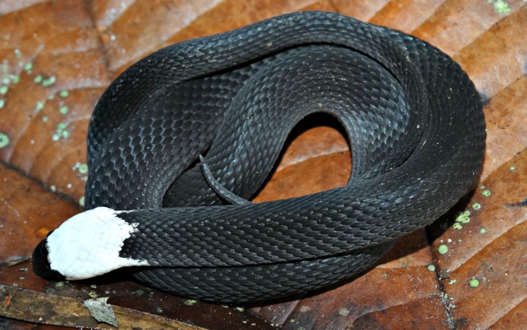 Espécie de serpente rara foi achada pela primeira vez na Estação Ecológica Rio Acre, em Assis Brasil  (Foto: Marco Freitas/Arquivo Pessoal)