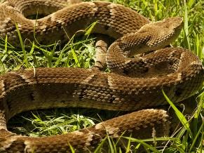 Jararaca: Serpentes (Foto: Divulgação/Instituto Vital Brazil)