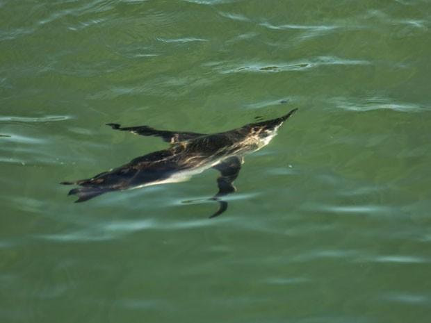 Pinguins são achados no litoral do extremo sul da Bahia (Foto: Divulgação/Pat Ecosmar)