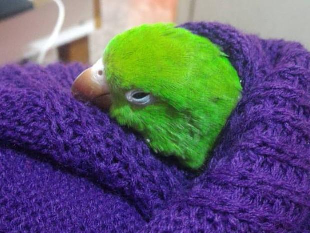 O periquito-fêmea Katy também se protegeu do frio em Ribeirão Preto (Foto: Letícia da Silva/ VC no G1)