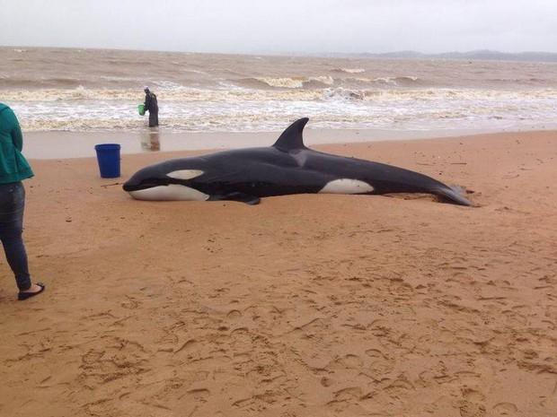 Baleia Orca foi avistada por populares (Foto: Divulgação/ Ipram)
