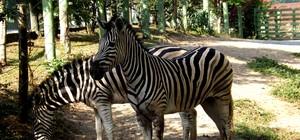 Zebra foge de zoológico, é flagrada andando por Pomerode e encontrada em marmoraria ( Zoológico Pomerode/Divulgação)