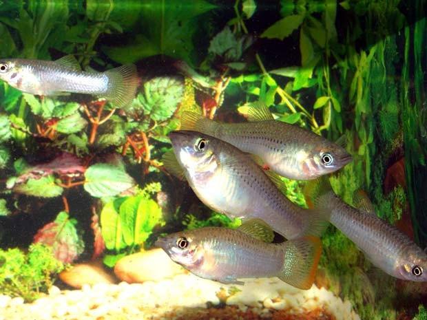 Grupo de peixes da espécie 'Poecilia mexicana' (Foto: David Bierbach/via BBC)