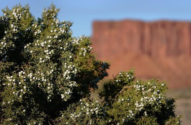 O zimbro cresce em lugares como o Parque Nacional Canyonlands, em Utah (Foto: Doug Pensinger/Getty Images)