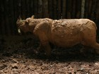 Morre rinoceronte em risco de extinção descoberto na Indonésia