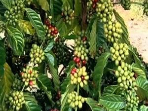 CCCV divulga como ficou a cotação do café no ES (Foto: Reprodução/TV Gazeta)