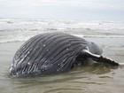 Filhote de baleia de 8 metros e duas toneladas é encontrado morto no RS