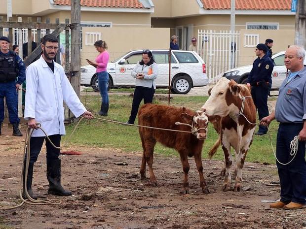 Sete vacas estavam entre os animaos criados ao meio do lixo (Foto: Valdecir Galor / SMCS)