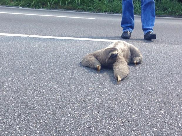 Bicho preguiça atravessou rodovia em Mogi (Foto: Carolina Paes / TV Diário)