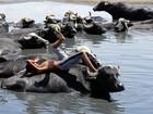 'Jovem folgado' descansa deitado em búfalo em rio no Iraque