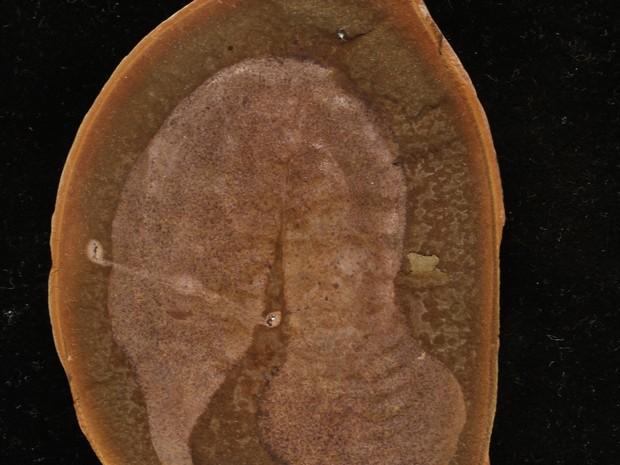 Vestígios fossilizados de Tullimonstrum gregarium foram encontrados em 1955 pelo caçador de fósseis Francis Tully (Foto: Paul Mayer/The Field Museum/AP)