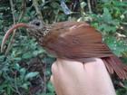 Veja algumas das aves descobertas por cientistas na Amazônia