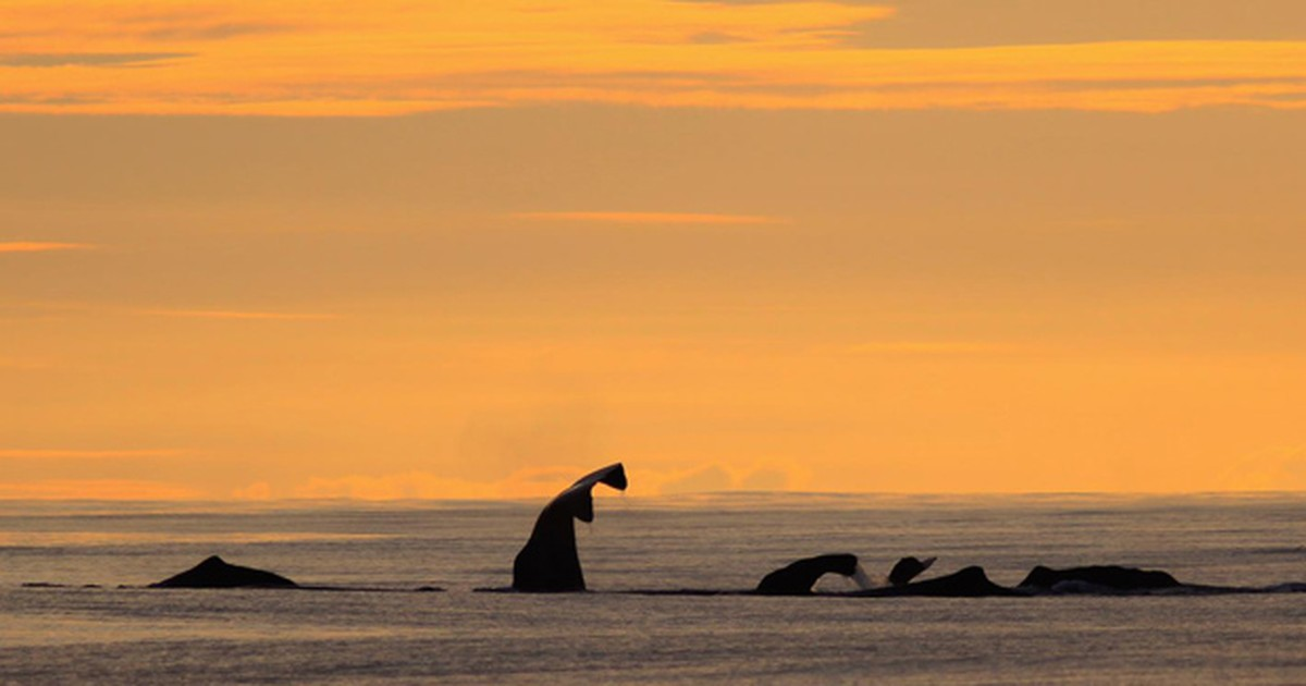 Cetáceos de uma mesma espécie usam 'dialetos' diferentes, diz estudo