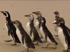 Dezenas de pinguins são devolvidos ao mar em Florianópolis