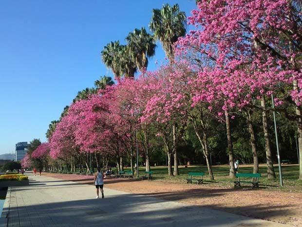 Parque Farroupilha (Redenção), em Porto Alegre, com árvores repletas de flores (Foto: Camila Martins/RBS TV)
