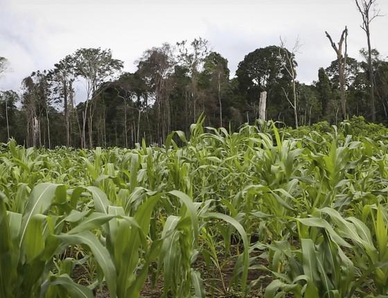 Lavoura de milho no Projeto de Assentamento Moju, no Pará. No fundo, área de floresta preservada (Foto: Marcelo Min/ÉPOCA)