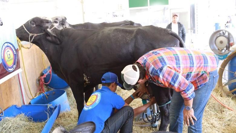 leite-vaca-girolando (Foto: Divulgação)
