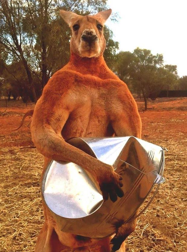Segundo o cuidador, o passatempo preferido de Roger é amassar os baldes em que recebe sua comida (Foto: Reprodução/Facebook/The Kangaroo Sanctuary Alice Springs)