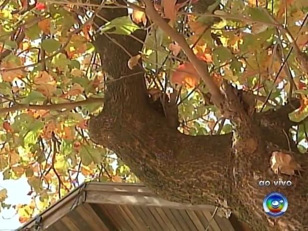 Árvore com cupim tem preocupado moradores (Foto: Reprodução / TV TEM)