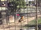 Mulher pula cerca para pegar chapéu em recinto de tigre em zoo no Canadá
